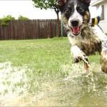 Hund spielt in Pfützen