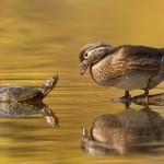 Schildkröte trifft Ente