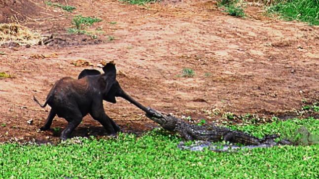 Elefant und Krokodil