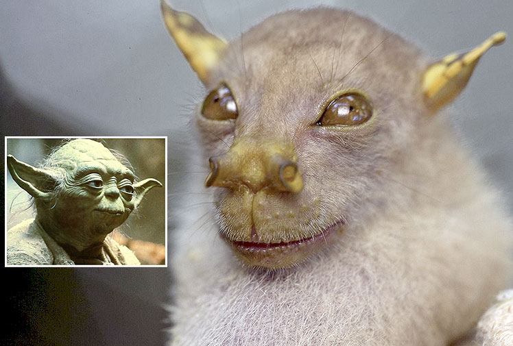 Yoda Fledermaus