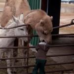 Kamel lutscht Kopf von Kind