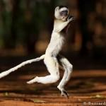 Jumping Sifaka
