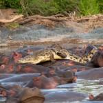 Krokodil und Hippos 02