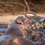 Krokodil und Hippos 04