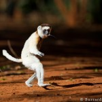 Sifaka Dancing