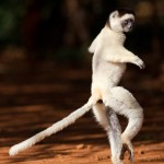Sifaka in Mid-air