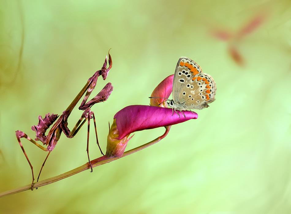 Gottesanbeterin und Schmetterling
