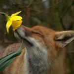 Fuchs riecht an Blume