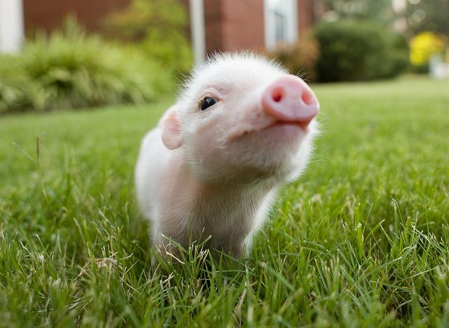 Kleines süßes Schweinchen