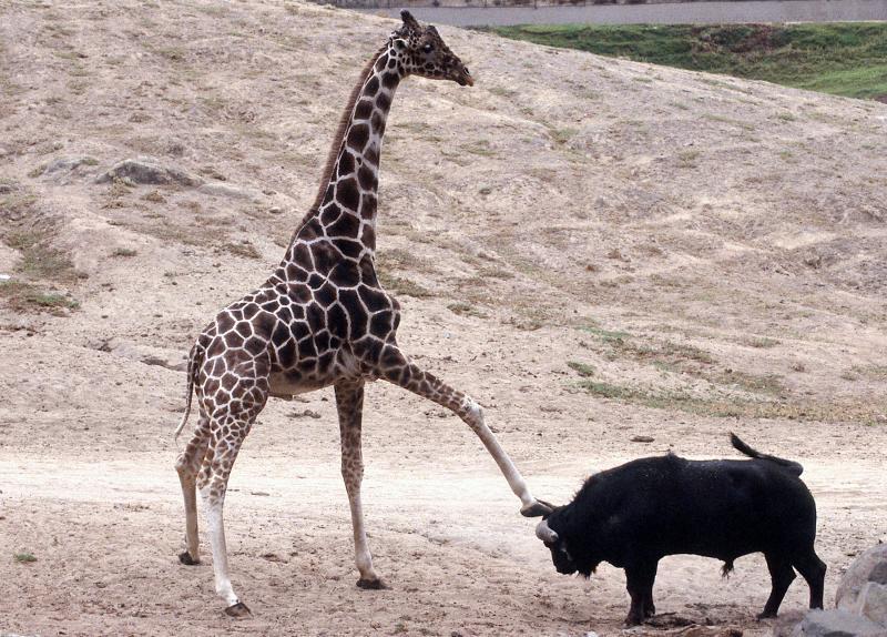 Giraffe tritt Büffel