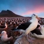 Nistende Albatrosse