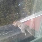 Eichhörnchen auf Fensterbrett