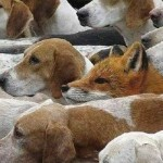 Ein Fuchs unter Hunden