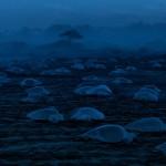 Frisch geschlüpfte Schildkröten krabbeln über den Strand