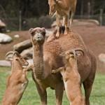 Ziegen auf Kamel