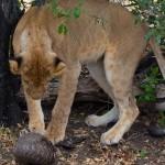 Lion Vs Pangolin