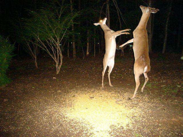 Tanzende Rehe
