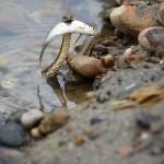 Schlanker Fischer