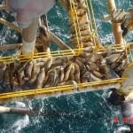 Seehunde auf Ölplattform
