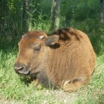 buffalo_05