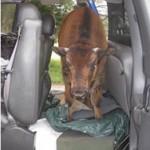 buffalo_06