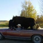 buffalo_08