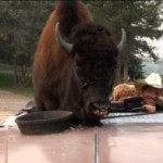 buffalo_09