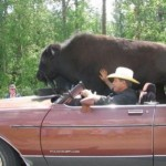 buffalo_10
