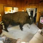 buffalo_15