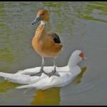 Ente auf Ente