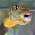Perlhuhn-Kugelfisch wenn er nicht aufgeblasen ist