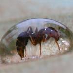 Ameise in Wassertropfen