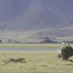 Gepard jagt Strauß