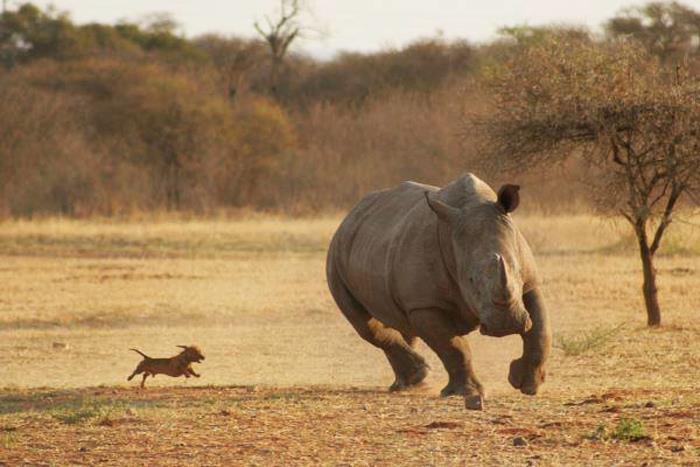 Hund jagt Nashorn