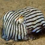 Tintenfisch im gestreiften Schlafanzug