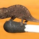 Das kleinste Chamäleon der Welt