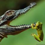 Krokodil und Frosch