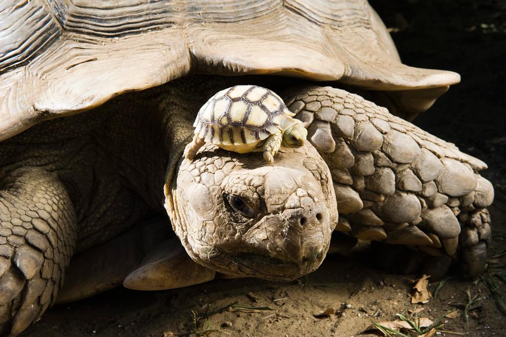 Schildkrötenbaby auf Schilkrötenmama