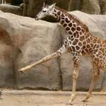 Giraffe und Ente