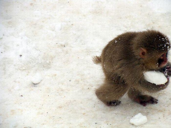 Affe klaut Schnee