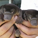 Baby Schnabeltiere