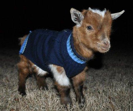 Ziege im Pullover