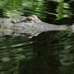 Alligator und Frosch