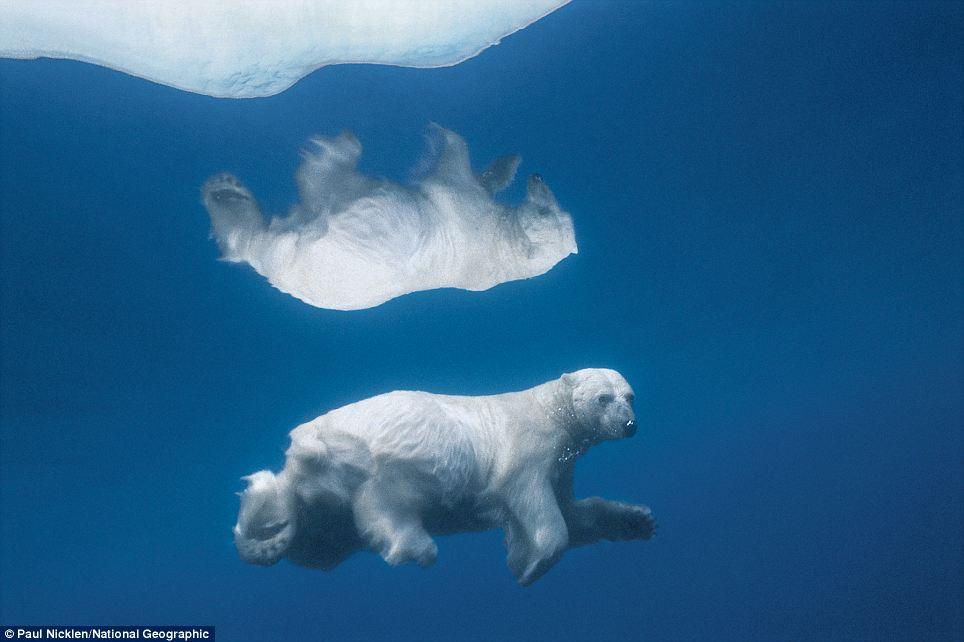 Eisbär unter Wasser