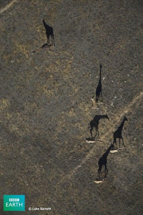 Giraffenschatten