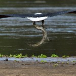 Adler fängt Krokodil
