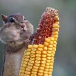 Hungriges Hörnchen