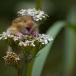 Maus auf Blume