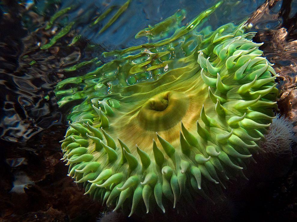 Grüne Anemone