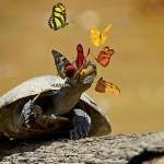 Schmetterlinge trinken Schildkrötentränen